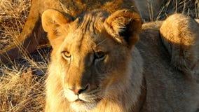 Лев в Зимбабве, Victoria Falls, Африке стоковое изображение rf