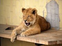 Лев в зоопарке Софии, Болгарии Стоковые Изображения