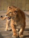 Лев в зоопарке Софии, Болгарии Стоковое Фото