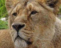 Лев в зоопарке Цюриха, Швейцария Стоковые Фото