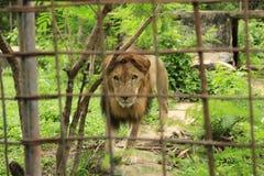 Лев в клетке в камбоджийском зоопарке стоковое изображение rf