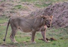 Лев в национальном парке Etosha в Намибии Южной Африке стоковые изображения