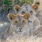 Лев в национальном парке Кении стоковые изображения rf