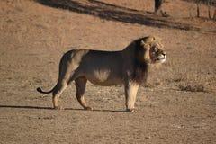 Лев в национальном парке Kgaligadi Стоковые Фотографии RF