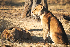 Лев в одичалом Стоковое фото RF