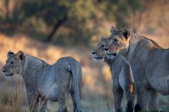 Лев в парке Стоковые Фото