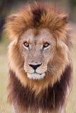Лев в парке Стоковые Изображения