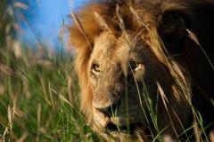 Лев в парке Стоковые Изображения RF