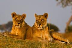 Лев в парке Стоковая Фотография RF