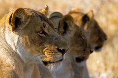 Лев в парке Стоковая Фотография
