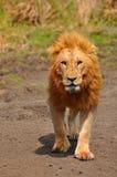Лев в парке Стоковое Изображение