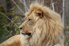 Лев в покое на зоопарке в Калифорния стоковые изображения rf