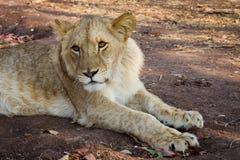 Лев в сигнале Стоковые Изображения RF