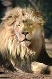 Лев в Солнце - солнечный день - загорать Стоковые Изображения RF
