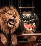 Лев в цирке стоковые фотографии rf