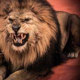 Лев в цирке стоковое фото