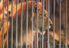 Лев в цирке Стоковые Изображения