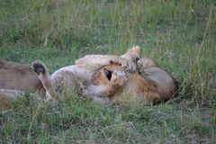 Лев в Maasai Mara, Кении Стоковые Фото
