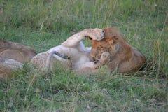 Лев в Maasai Mara, Кении Стоковое фото RF