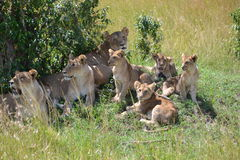 Лев в Maasai Mara, Кении Стоковые Изображения RF