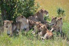 Лев в Maasai Mara, Кении Стоковое Изображение RF