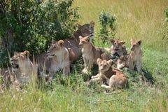 Лев в Maasai Mara, Кении Стоковые Изображения