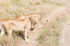 Лев в Serengeti Стоковая Фотография RF