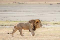 Лев в Serengeti Стоковая Фотография