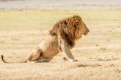 Лев в Serengeti Стоковое Изображение