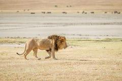 Лев в Serengeti Стоковое Изображение RF