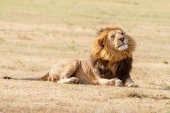 Лев в Serengeti Стоковые Фотографии RF