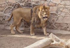 Лев говорит Стоковые Фото
