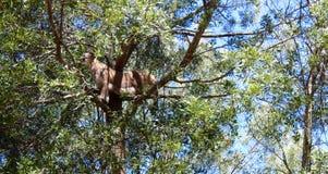 Лев горы в дереве Стоковая Фотография RF