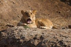 Лев демонстрирует свой язык Стоковое Изображение
