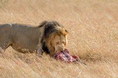 Лев есть добычу в Masai mara Стоковая Фотография