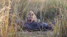 Лев есть от антилопы гну Стоковое Изображение RF