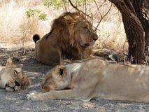 Лев защищая львиц стоковое фото