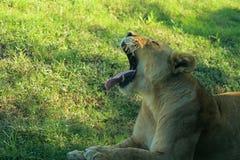 Лев зевая стоковое изображение rf