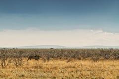 Лев идя на африканскую саванну С светом захода солнца, взгляд со стороны Намибия вышесказанного стоковые изображения rf