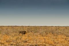 Лев идя на африканскую саванну С светом захода солнца, взгляд со стороны Намибия вышесказанного стоковое изображение rf