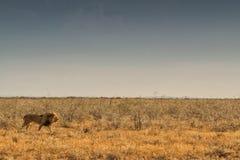 Лев идя на африканскую саванну С светом захода солнца, взгляд со стороны Намибия вышесказанного стоковая фотография