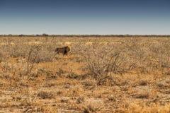 Лев идя на африканскую саванну С светом захода солнца, взгляд со стороны Намибия вышесказанного стоковые фотографии rf