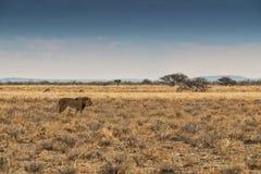 Лев идя на африканскую саванну С светом захода солнца, взгляд со стороны Намибия вышесказанного стоковые изображения