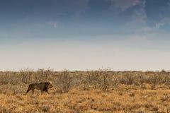 Лев идя на африканскую саванну С светом захода солнца, взгляд со стороны Намибия вышесказанного стоковые фото