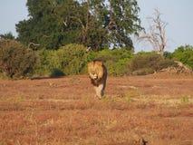 Лев идя на равнину Ботсваны стоковые изображения