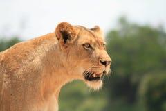 Лев имеет ее видимость на добыче стоковые фото