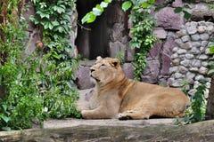 Лев ищет добыча Стоковые Изображения RF