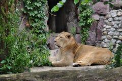 Лев ищет добыча Стоковая Фотография