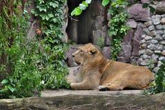 Лев ищет добыча Стоковые Фото