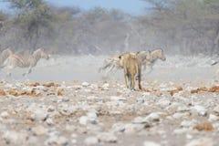 Лев и зебры бежать прочь, defocused на заднем плане Сафари в национальном парке Etosha, Намибия живой природы, Африка Стоковая Фотография RF